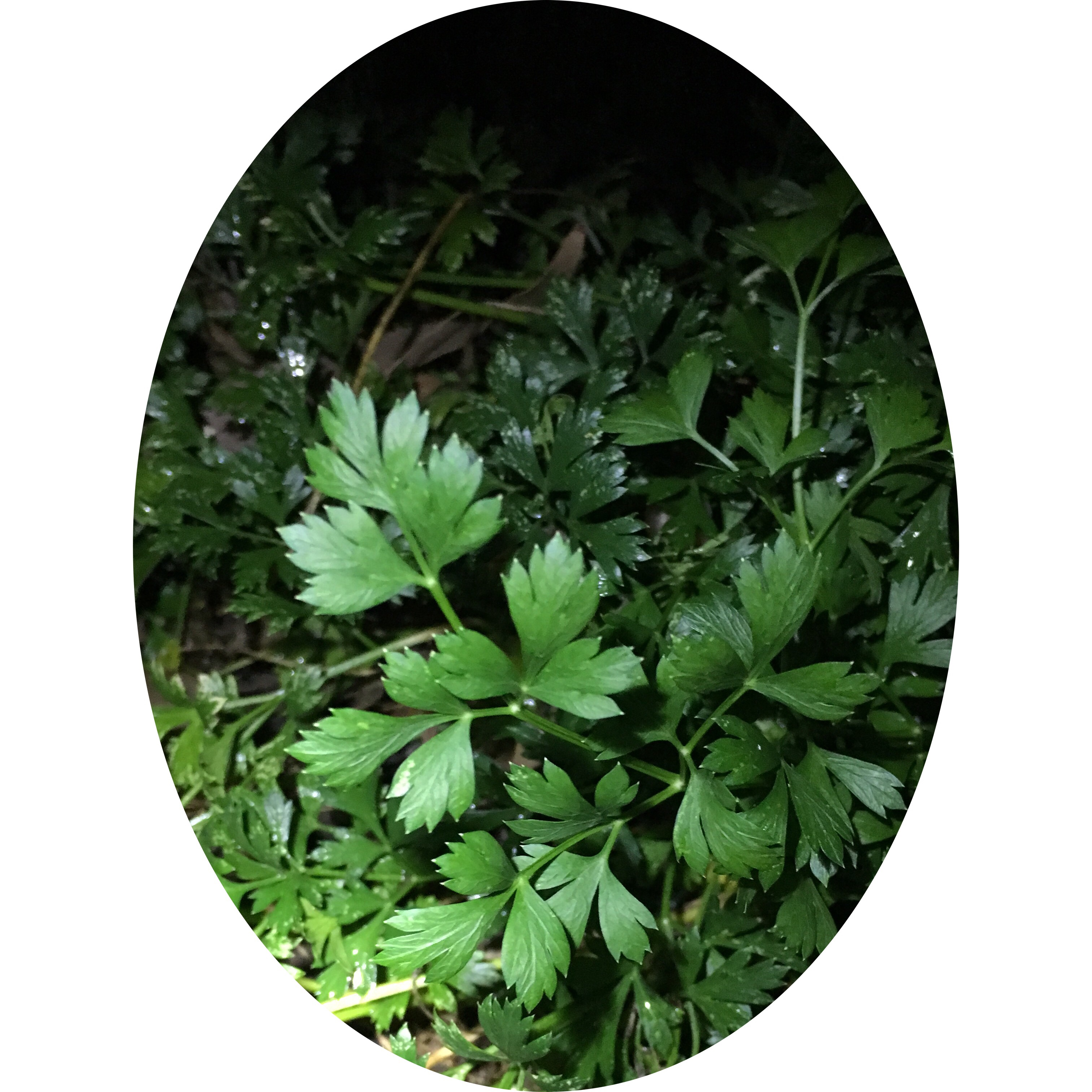 Hardy clump of Flat-leaf Parsley